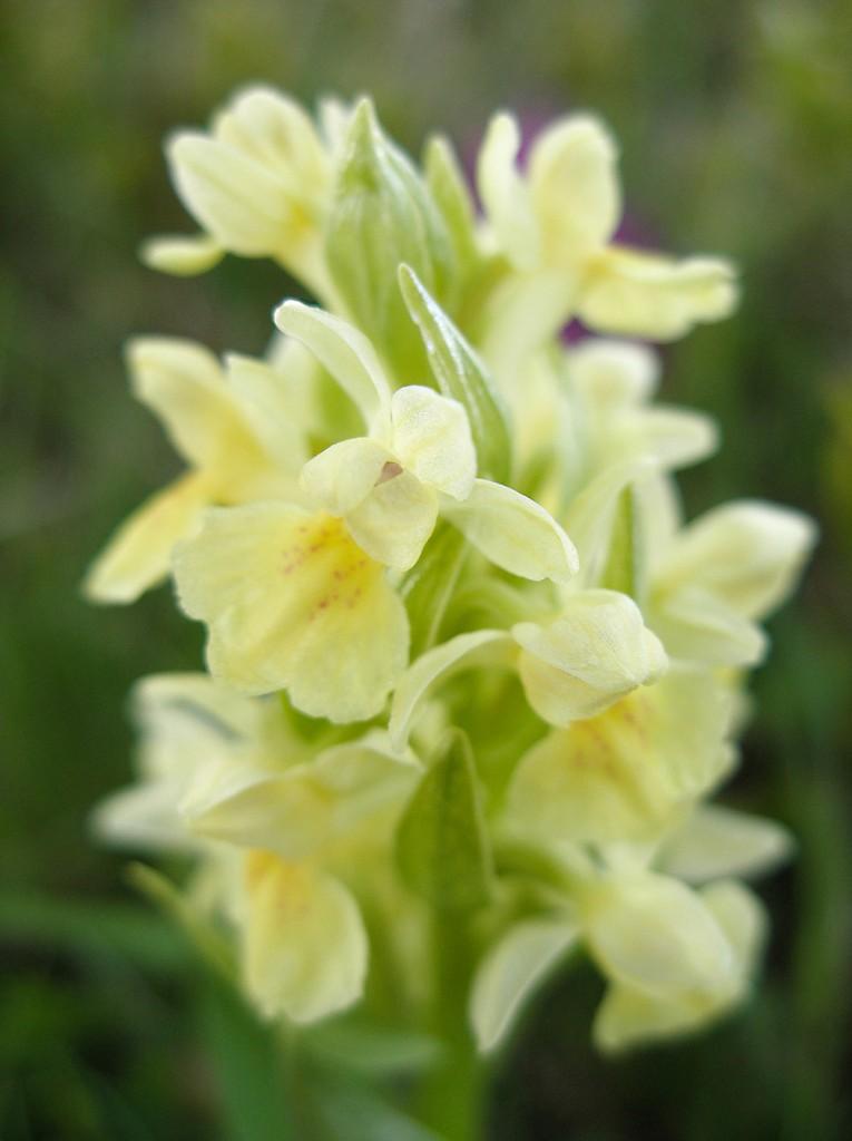 Orchidea-gialla